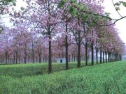 ПАВЛОВНИЯ -чудо дерево в УЗБЕКИСТАНЕ